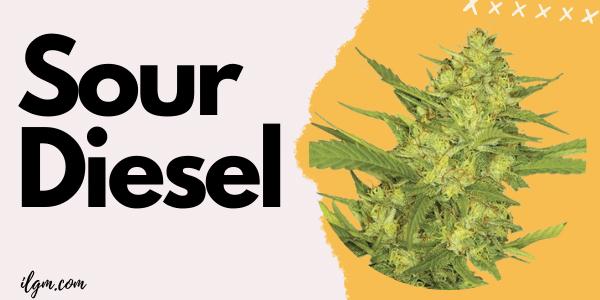 sour-diesel-marijuana-seeds