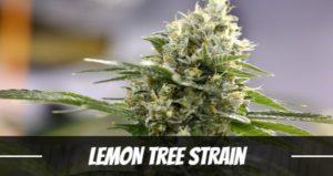 Lemon Tree Strain