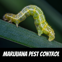 Marijuana Pest Control