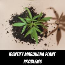 Identify Marijuana Plant Problems