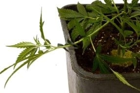 …to side of pot or plant sticks…