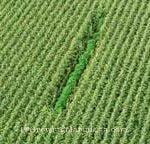 Guerrilla marijuana in corn