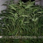 How to make cannabis clones