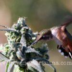Humming bird marijauna