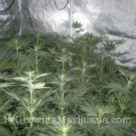Carbon dioxide generator cannabis