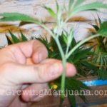 How to make marijuana clones