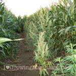 Marijuana in corn