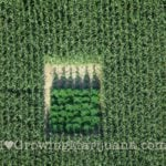 Marijuana in corn field