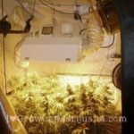 Cannabis lighting intensities
