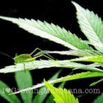 Marijauna grasshopper