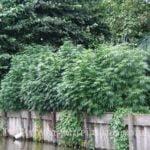 What marijuana to grow