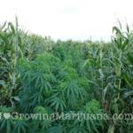 Marijuana corn field