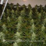Indoor cannabis fertilizer