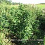 Marijuana growing yellowstone