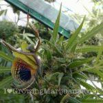 Mantis cannabis protect