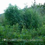Cannabis growing national park