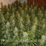 What marijuana plants eat