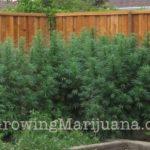 Super fertilzer weed