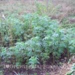 Cannabis outdoor trails