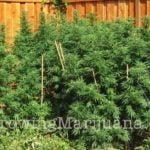 Grow marijuana fertilizer
