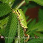 Frog natural predator cannabis