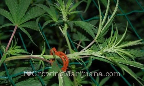 Marijuana scrog tutorial - 5 easy steps