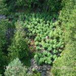 Hidden cannabis field