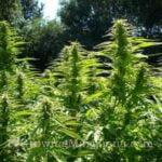 Weed fertilizer nitrogen