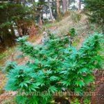 Cannabis forrest guerilla