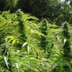 Marijuana phosphorus fertillizer