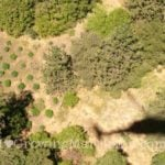 Marijuana field from helicopter