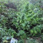 Hidden marijuana plant