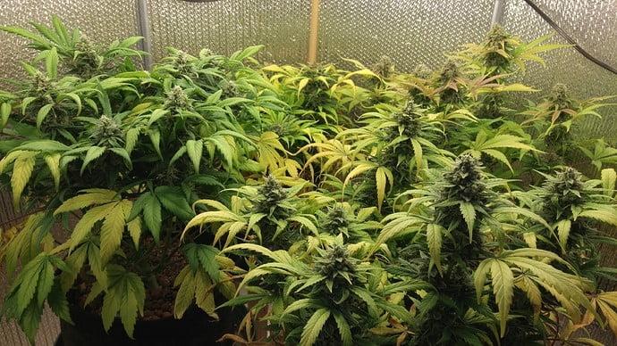 AK47 plants