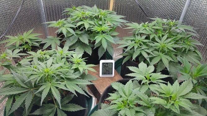 Marijuana ready to flower