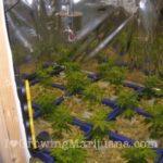 Deep water culture cannabis growing