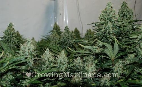 Scrog grow marijuana