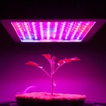 A young cannabis plant growing indoors under LED lights