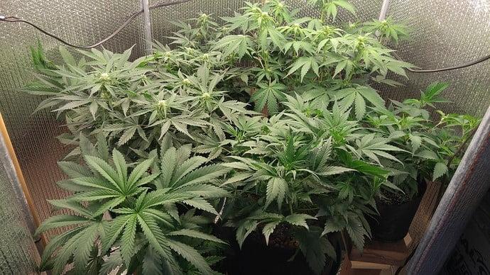 Marijuana flowered