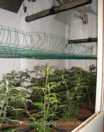 Distance scrog screen cannabis