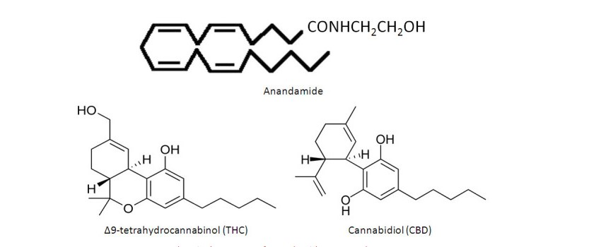 A Look at THC and CBD in the Endocannabinoid System