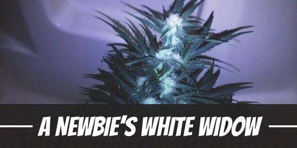 A Newbie's White Widow Grow