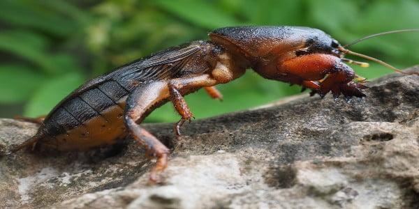 A mole cricket