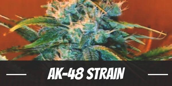 AK-48 Strain