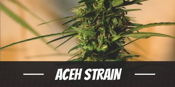 Aceh Strain