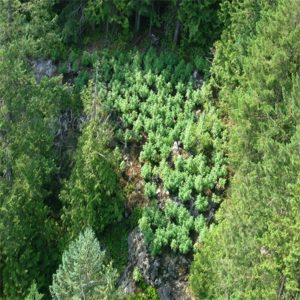 Aerial observation when growing cannabis