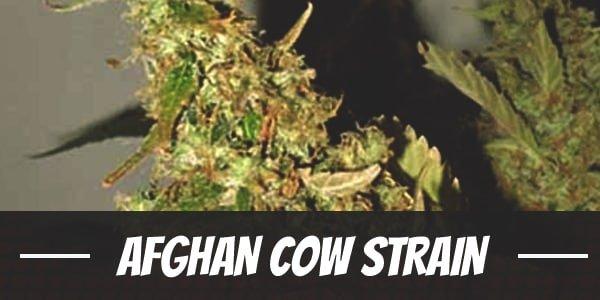 Afghan Cow Strain