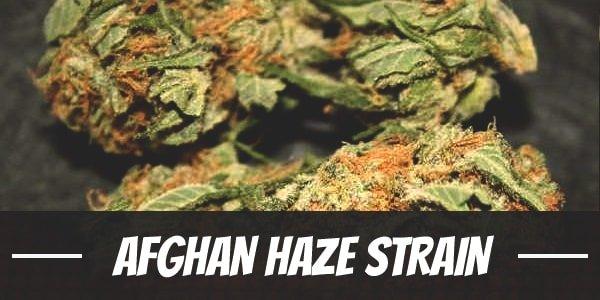 Afghan Haze Strain