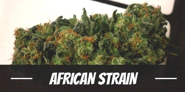 African Strain