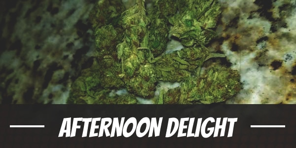 Afternoon Delight Strain