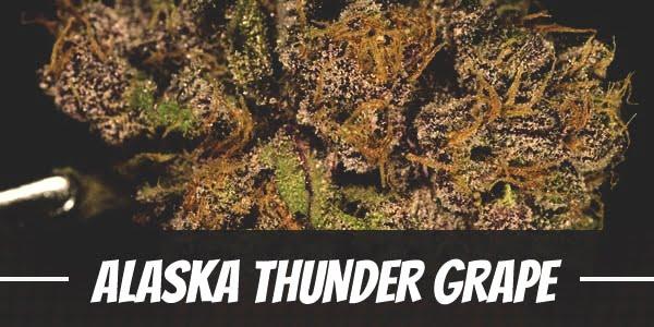 Alaska Thunder Grape Strain